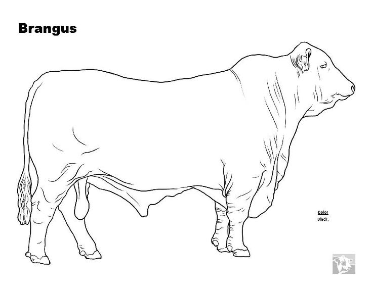 coloring beef cow pages - photo#20