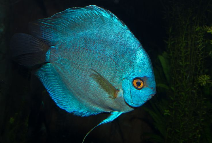 Blue Discus fish. #fish