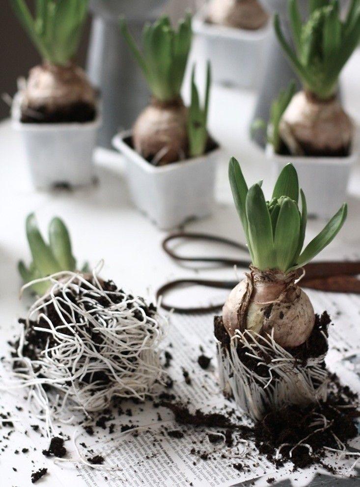 forced hyacinth bulbs