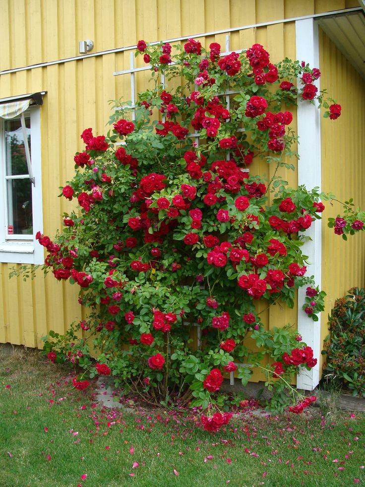 Flammentanz rose finnes i skogshagen la vie en rose pinterest house rose bush and climbing - Climbing rose trellis ...