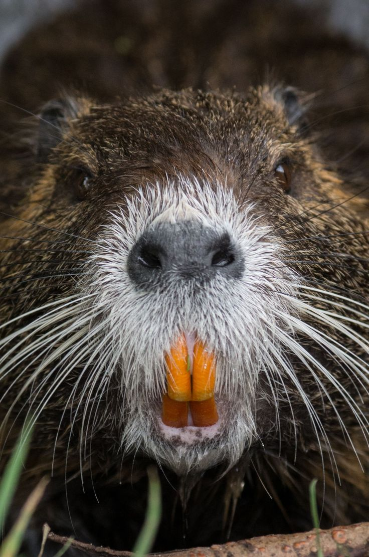 A Beaver's Teeth 65 best Nutria ...