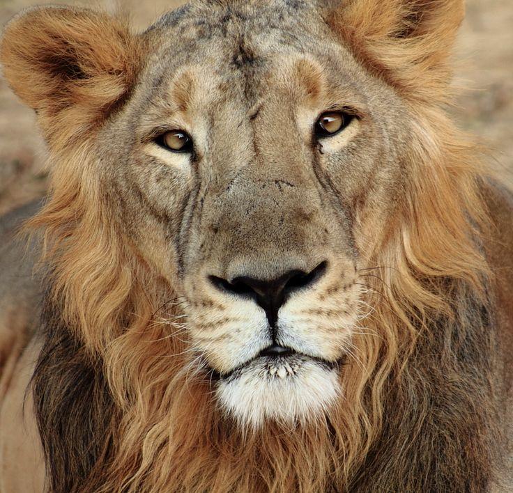 Asian Lion, Gir Forest   Pets & Animals   Pinterest ...