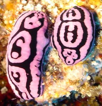 Sea slug Phyllidiella meandrina