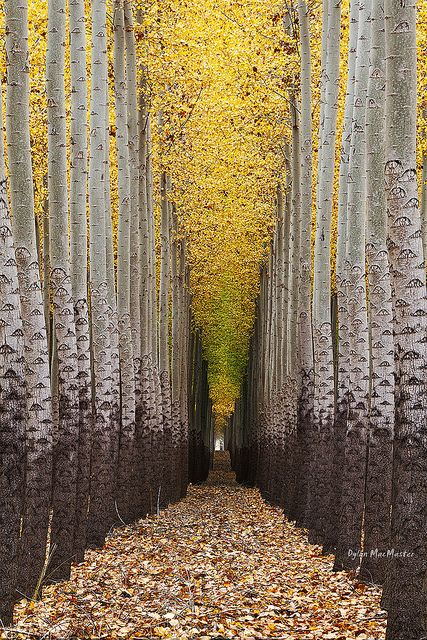 Walking towards the light.... by Dylan MacMaster on Flickr. Tree farm  near Boardman, Oregon.