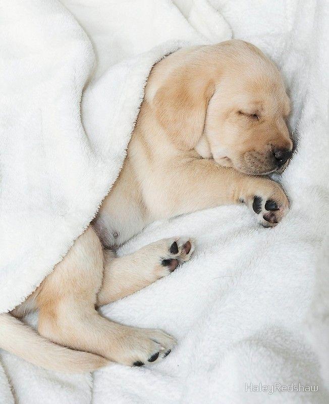 Sleeping Golden Labrador Puppy Ipad Case Skin By Haleyredshaw