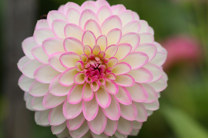 Free Image On Pixabay Dahlia Dahlia Flower Petals Pink Dahlia Flower Beautiful Flowers Photos Flowers
