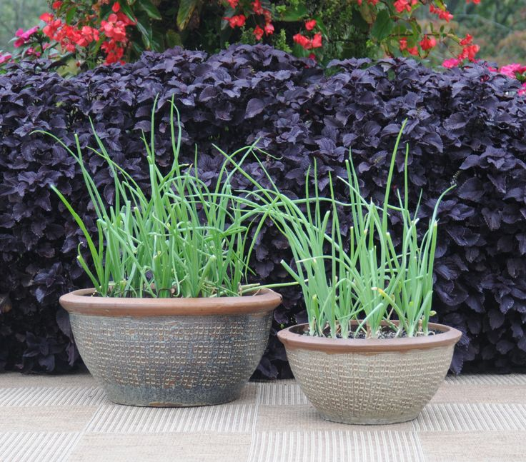 """Who ever thought onion plants could look so good Learn how to grow easy ve ables that look great on your patio from the book """"Easy Container bos"""