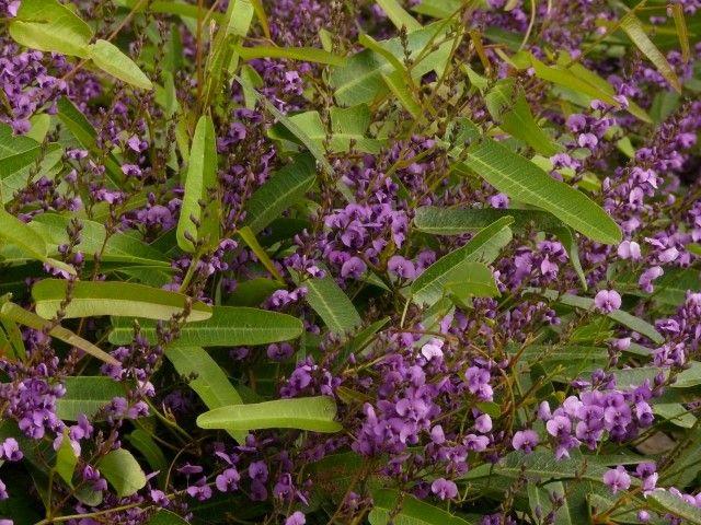 Hardenbergia Sassy --- For more Australian native plants visit austraflora.com
