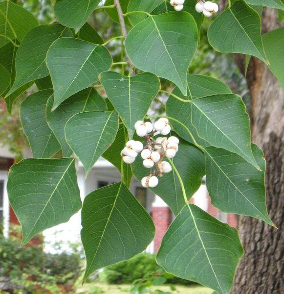 Chinese Tallow tree -- invasive