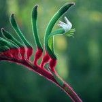 Red and Green Kangaroo Paw, Official flower of Western Australia. Protected flower. Used by aborigines for medical purposes.