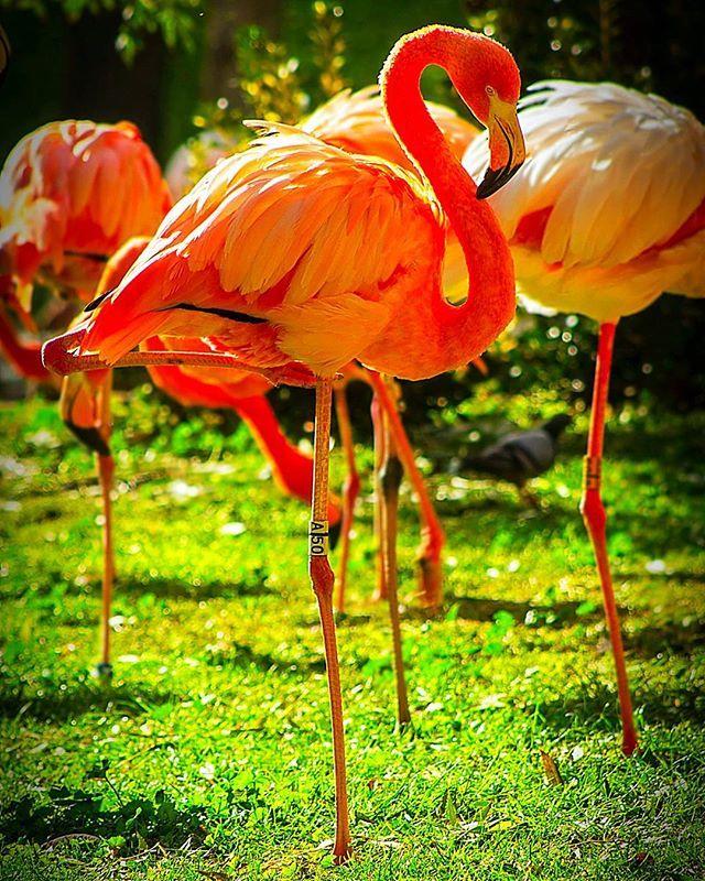 Flamingos #flamingos #animales #animals #animal #naturaleza #nature #zoo #aves #birds #photographer #photography #photo #foto #fotografia