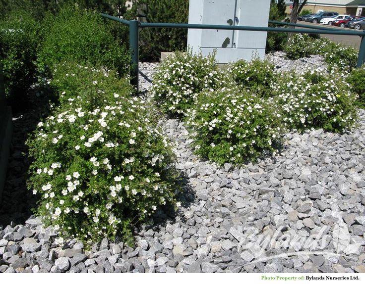 tien puoleiseen nurkkaan: Pensashanhikki Abbotswood. Valkoiset kukat heinäkuusta syksyyn saakka. tummanvihreä lehdistö, korkeus alle metrin. Vaatimaton kasvupaikan suhteen ja kukkii parhaiten aurinkoisella paikalla kuivassa hiekkapohjaisessa maassa.