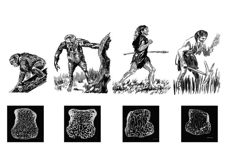 best 25+ human skeleton bones ideas only on pinterest | skeleton, Skeleton