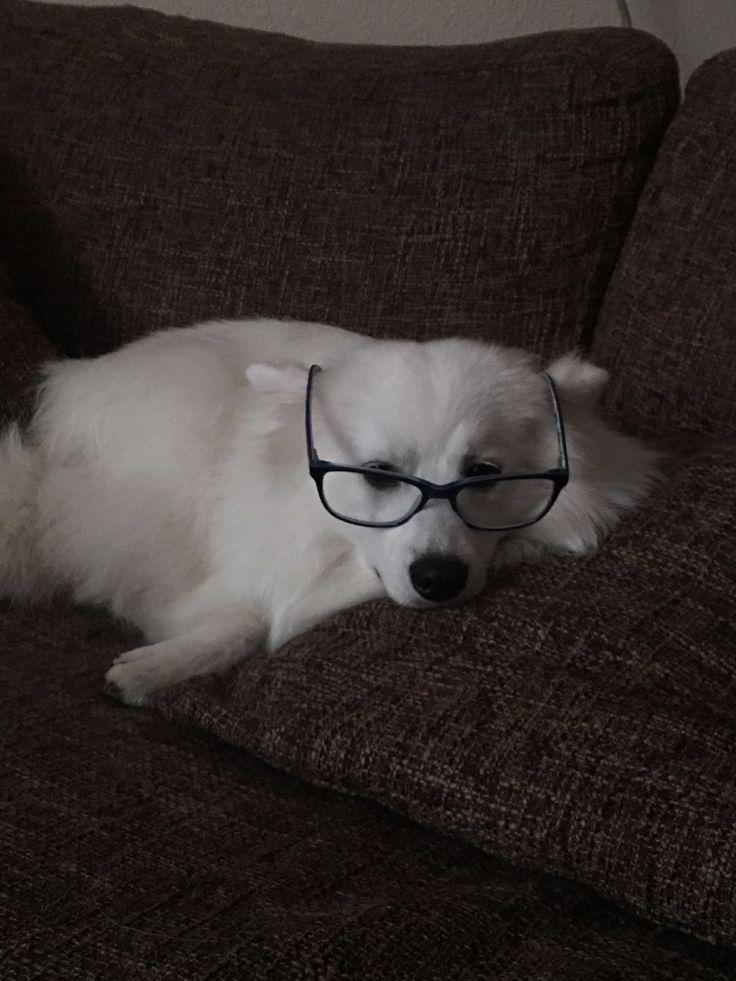 Nerdje Japanse Spitz/spits #Dog