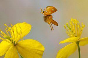 UK Ladybirds: Orange Ladybird or Orange Ladybug (Halyzia sedecimguttata), in flight