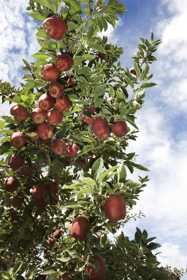 Which Fruit Trees Grow Best In Zone 8 Growing Tree Apple Tree Fruit Trees