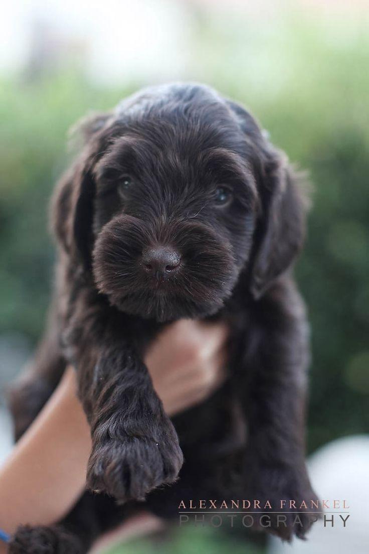 Cutest brown labradoodle puppy