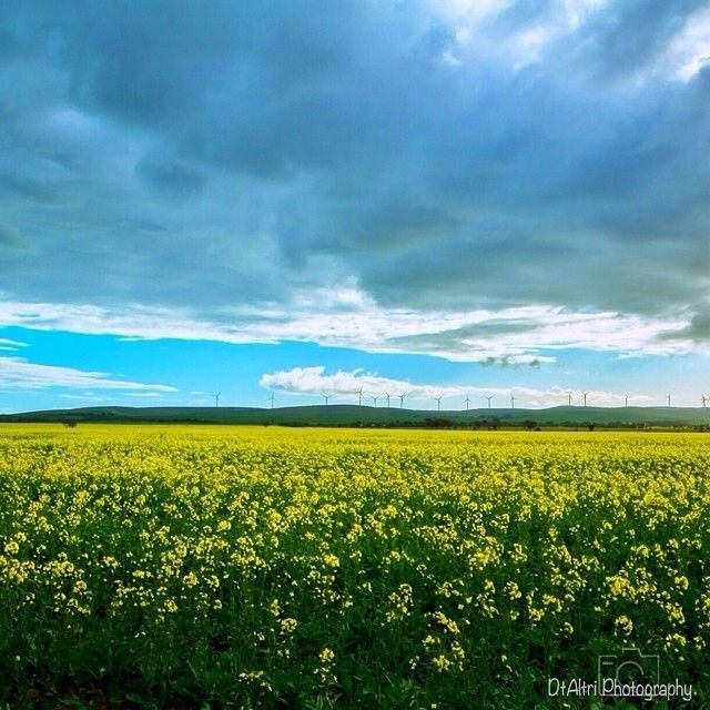 So yellow! Canola field on Port Wakefield Road - photo by @altri_photography
