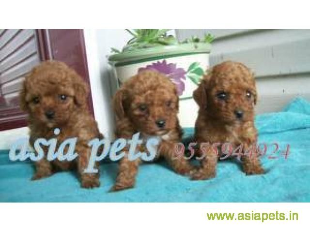 Poodle Puppies For Sale In Delhi At Best Price Poodle Puppies