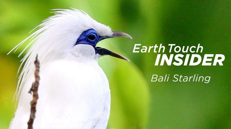 This is how goats and weaving saved the Bali starling | Earth Touch Insider