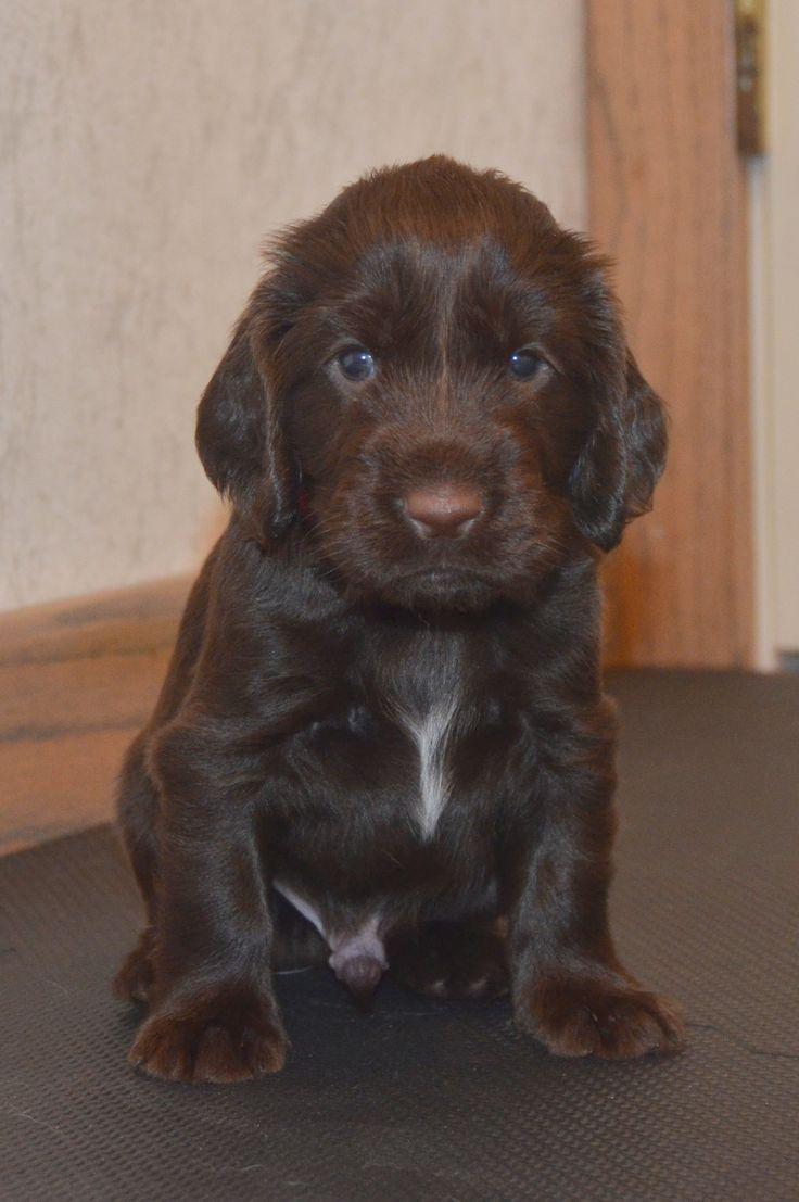 Field Spaniel puppy | Field Spaniels | Pinterest ...