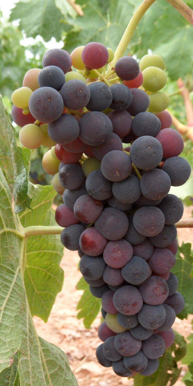 Uva (Grapes), La Rioja, Spain