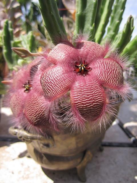 Stapelia Grandiflora cactus plant