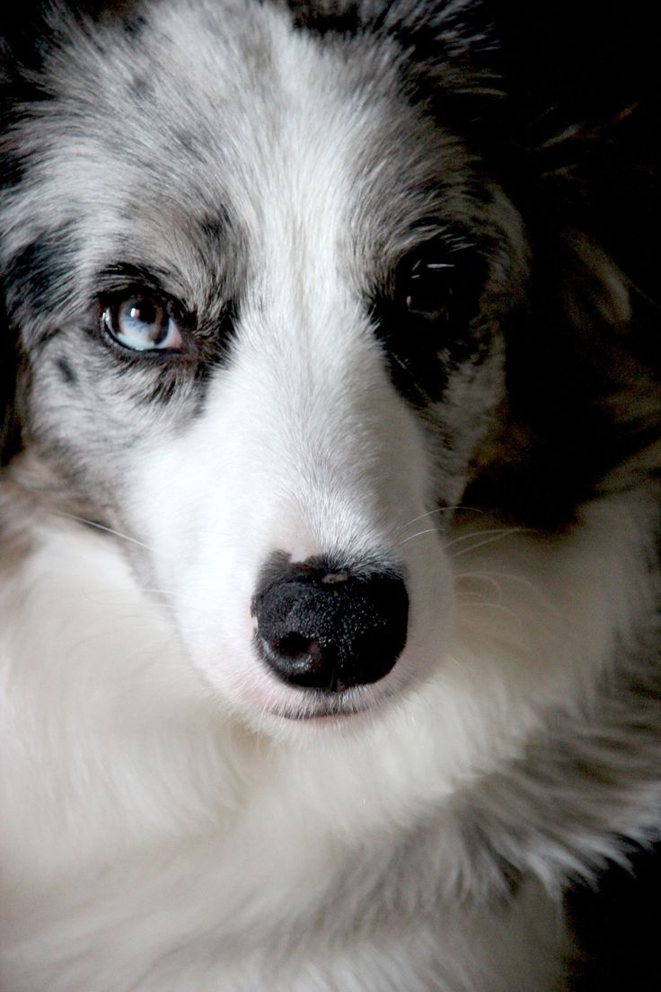 border collie - A blue merle border collie that look the camera