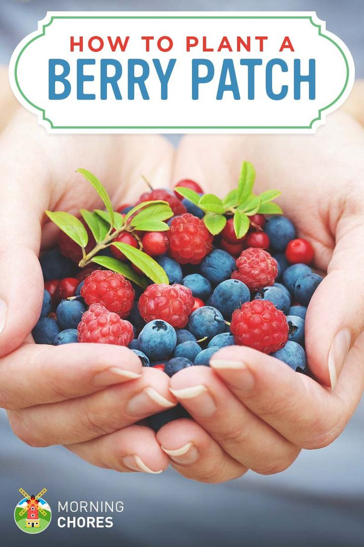 Growing Berries: How to Plant a Berry Patch (Strawberries, Blueberries, etc.)