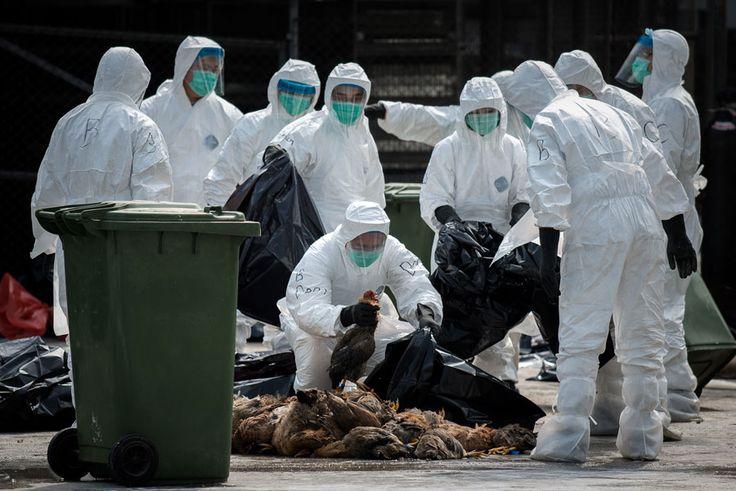 Governo chinês admite transmissão da gripe aviária entre humanos | #China, #Contaminação, #GripeAviária, #H7N9, #Higiene, #LuChen, #Mortalidade, #Saúde, #Transmissão