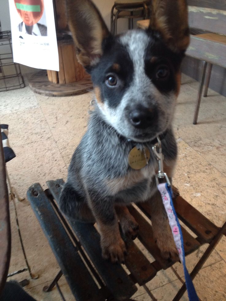 17 best images about australian cattle dog blue heeler on. Black Bedroom Furniture Sets. Home Design Ideas