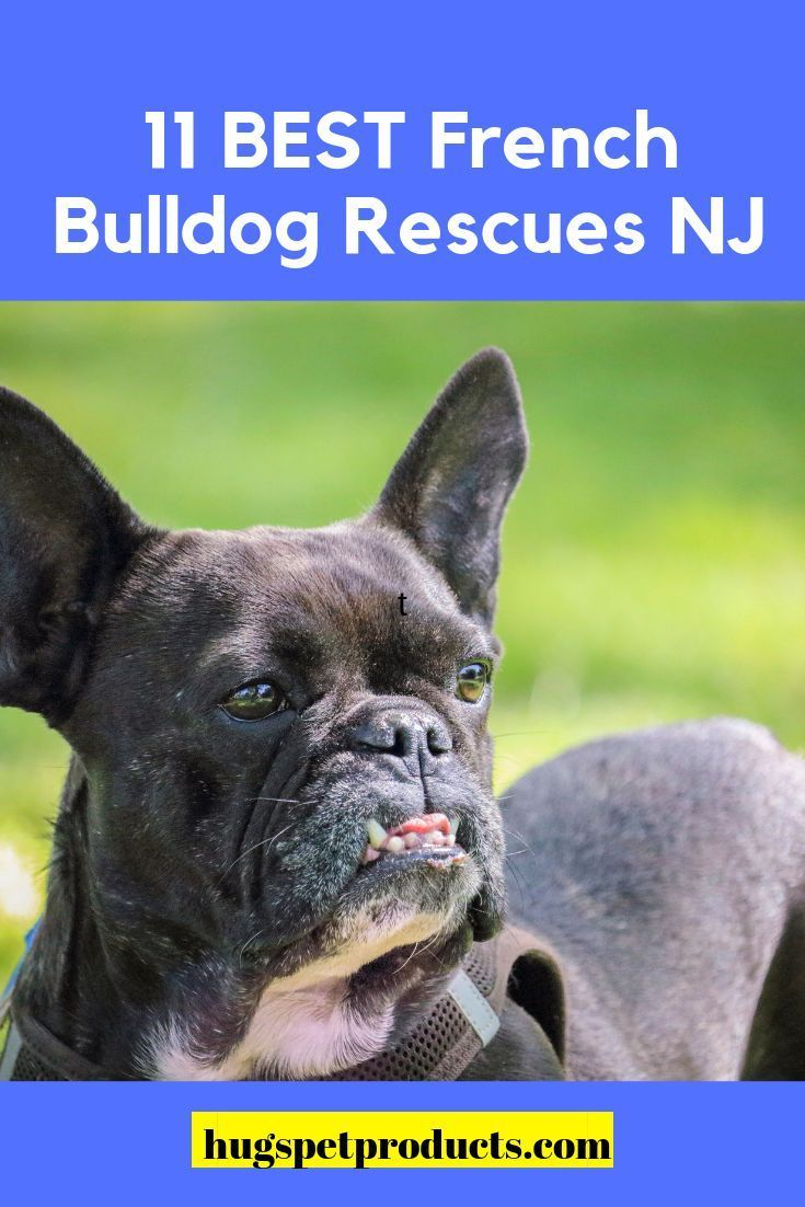11 Best French Bulldog Rescues Nj French Bulldog French Bulldog