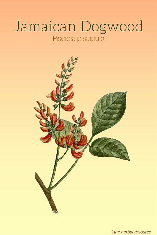 Jamaican Dogwood (Piscidia piscipula)
