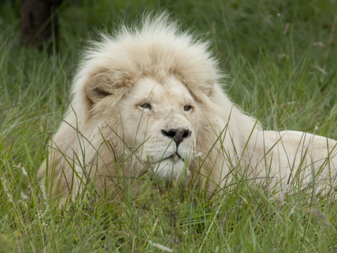 African Lion, Inkwenkwezi Private Game Reserve, East London, South Africa Photographic Print