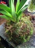 feste mose på orkideer