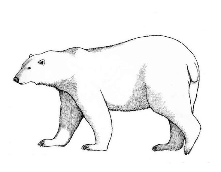 find this pin and more on polar bear polar bear coloring page