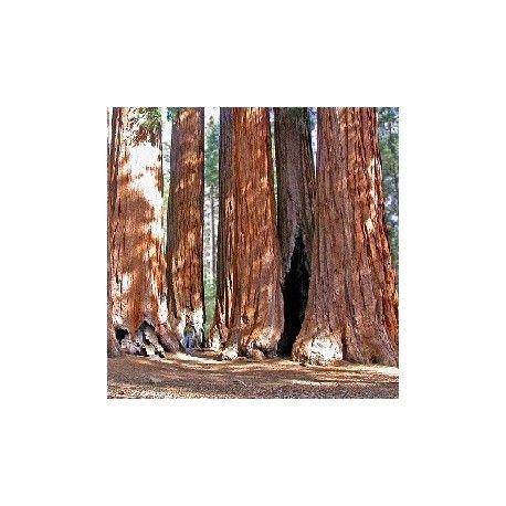 semillas de SECUOYA GIGANTE (Sequoiadendron giganteum) semillas en venta para crecer #secuya #gigante #sequoia #giganteum #semillas