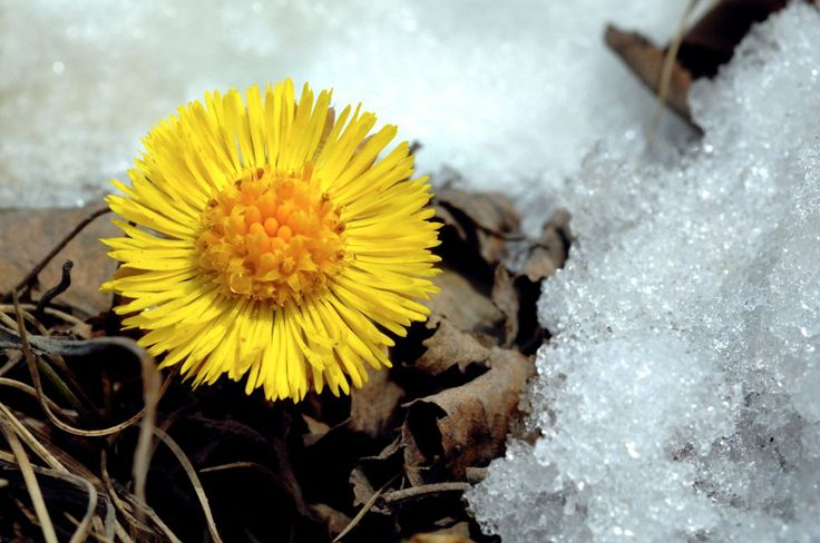 Coltsfoot (Hestehov) in spring. From OA.