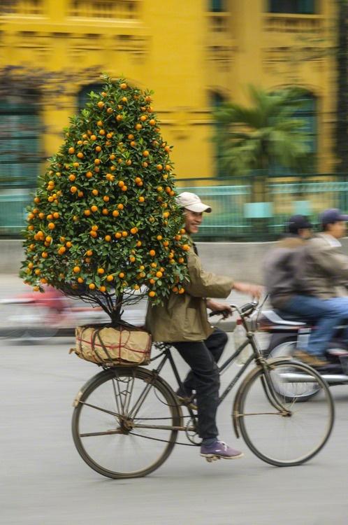 El montar en bicicleta con un árbol de naranja en miniatura en Hanoi, Vietnam