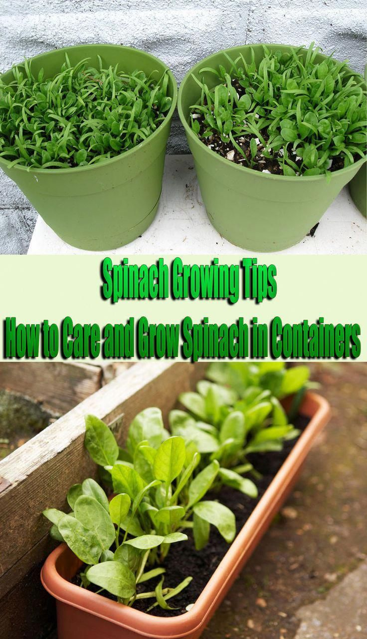 Spinach Growing Tips How To Care And Grow Spinach In Containers The Spinach Plant Does Well In Shad Growing Spinach Organic Gardening Tips Growing Vegetables