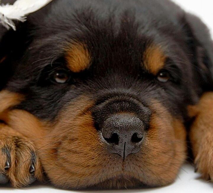 Rottweiler Wallpaper: 109 Best Images About I LOVE MY ROTTIES On Pinterest