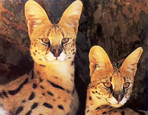 Of all the cats in the world, the serval has the longest legs relative to its body size; this is a result of the elongated metatarsal bones in its feet. The rest of the serval's frame is slender, and it has a fairly small head, but it's known for its large ears and extremely dexterous toes (which it uses to capture concealed prey).