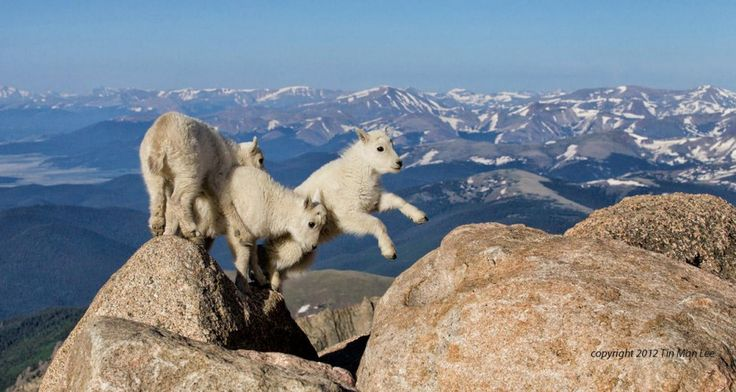 Goat kids playing at 14,000 feet.