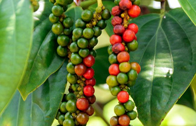How To Grow Black Pepper Growing Peppercorns Plant Piper