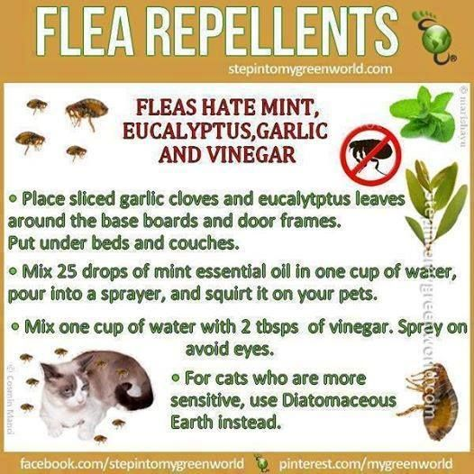 Photo: By request!   Flea & Tick Remedy   8 oz apple cider vinegar  4 oz warm water  1/2 tsp salt  1/2 tsp baking soda   Mix dry ingredients first then slowly add to wet as the vinegar and baking soda will react slightly. Put into spray bottle and spray pets down. Be careful not to get in pets eyes.   Use Borax throughout the house, sprinkle it on the carpets and let sit for a few hours, then vacuum. This should kill all the fleas and ticks in your home and on your ...