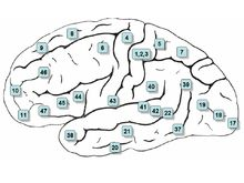 Brodmann areas relevant to speech, language and swallowing