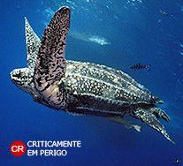 Tartaruga de Couro. Dermochelys coriácea. Zona Costeira. Instituto Chico Mendes de Conservação da Biodiversidade - Destaque - Tartaruga de Couro