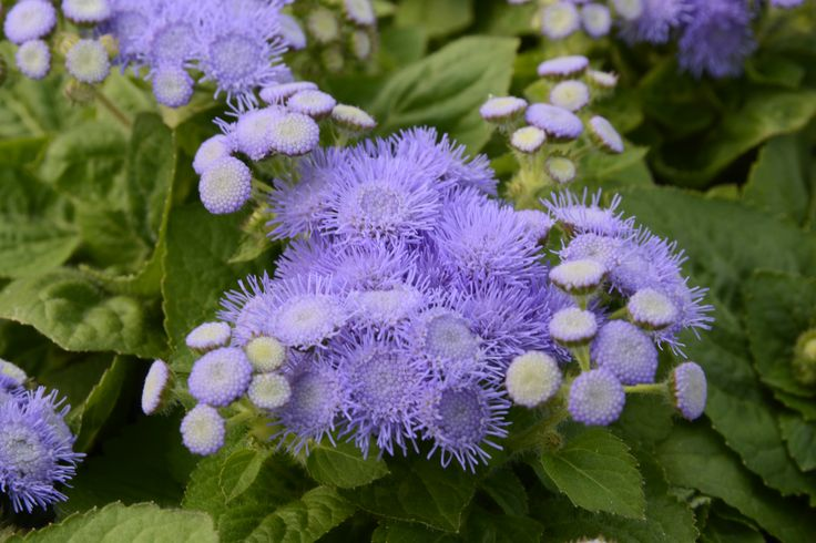 Conoscete questa splendida pianta? E' l'Agerato, una pianta perfetta per abbellire aiuole e bordure, ma anche per la creazione di tappeti colorati. Buon pranzo dallo staff di Garden Zanet!  #agerato #fiore #aiule #viola
