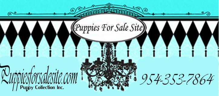 TeaCups Puppies and Boutique, Designer Dog Clothes and Teacup Yorkies