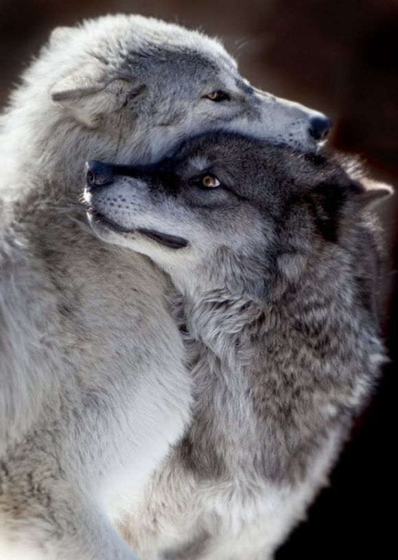 Wolf Love ~ By Rick Wallace Photography
